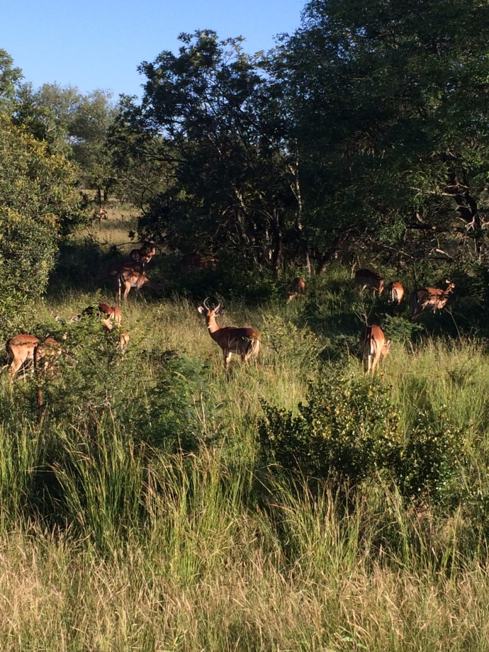 There are 130,000 impala in Kruger, kind of like seeing deer in Iowa.