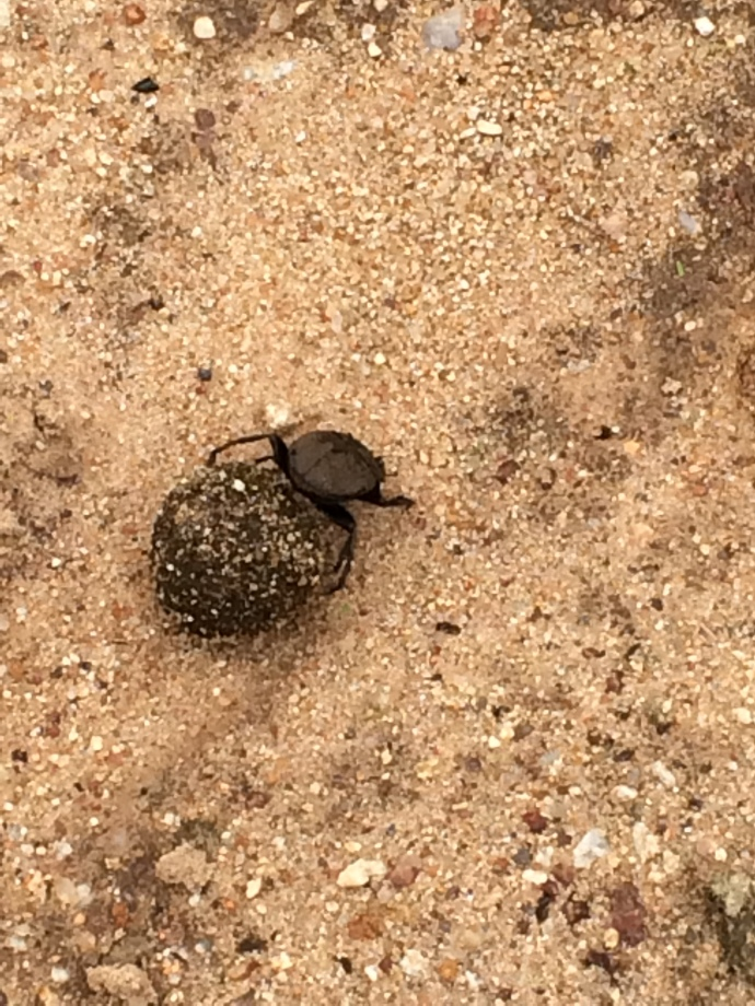 Dung beetle pushing dung ball