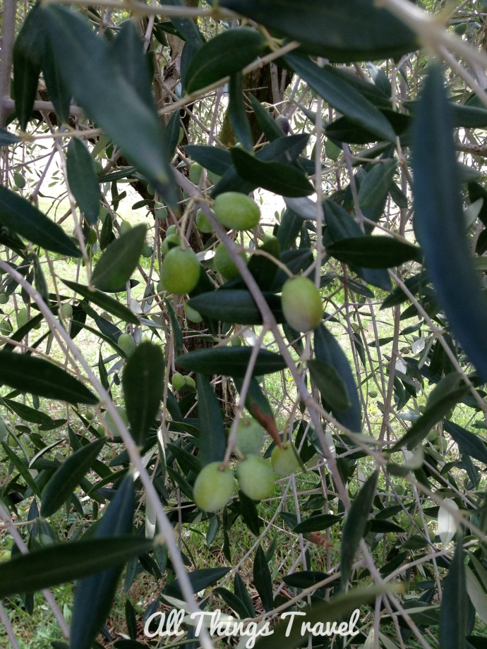 Olives grown on the farm