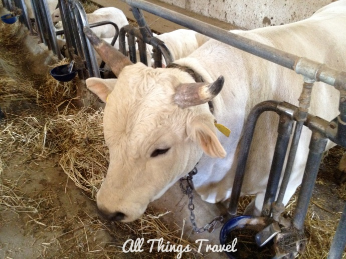 Cattle raised on the farm
