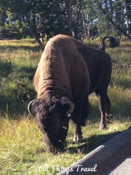 Bison on the roadside