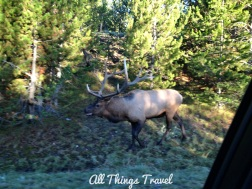 Bull Elk after photographer escaped
