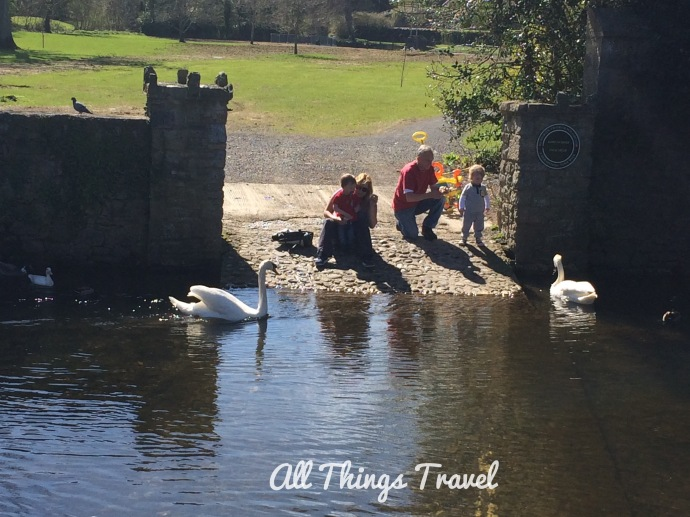 Swans on the River Suir in Cahir, Ireland