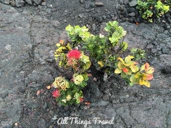Ohia lehua shrub